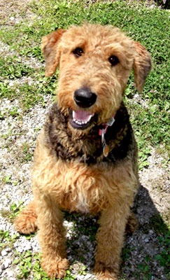Crestview Kennels | Airedale Terries and Welsh Terriers | Syracuse, IN